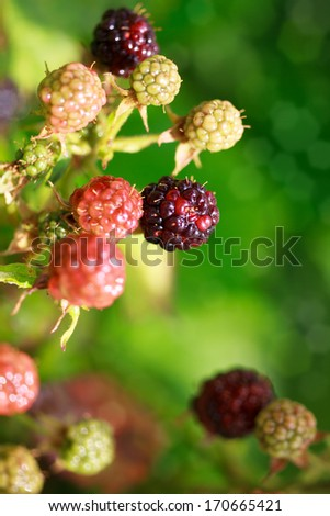 ripe and unripe blackberries on the bush, some berries in focus, some are not, copyspace - stock photo