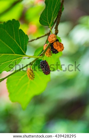 Ripe and unripe mulberry on twig, on the green background. Selective Focus. - stock photo