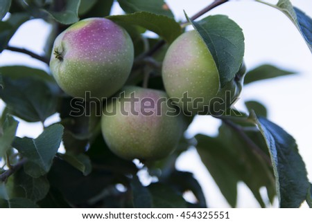 Ripe apple in the garden of a private house  - stock photo