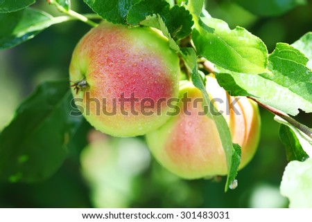Ripe apple on the branch