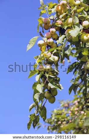 ripe apples hanging on a branch at orchard against the blue sky