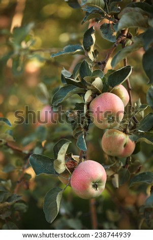 ripe apples hanging on a branch. summer's day - stock photo