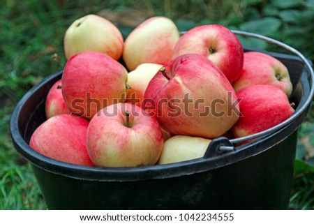 Ripe apples in a black bucket in the outdoors