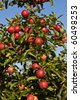 ripe apples on a tree branch against blue sky - stock photo