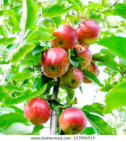 ripe apples on a tree under the sunlight