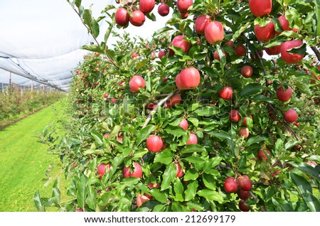 Ripe apples on the tree  - stock photo