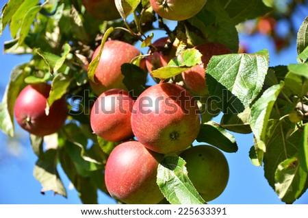 Ripe apples on the tree - stock photo