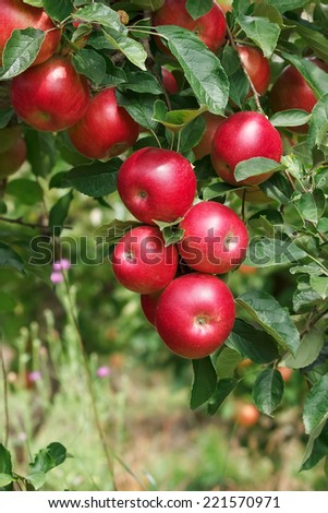 Ripe apples on the tree.  Apples on a apple tree branch in an orchard. Selective focus - stock photo