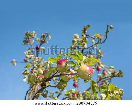 Ripe apples on the tree, background with empty space for text. - stock photo