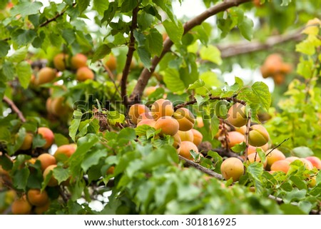Ripe apricots hanging on a tree