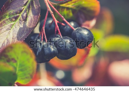 ripe aronia berries on the tree. Friut with vitamin C