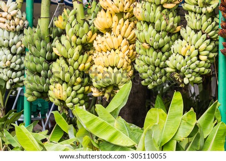 ripe banana in the garden - stock photo