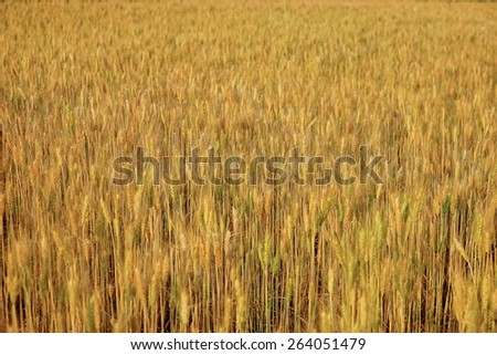 Ripe barley and wheat In the fields at the North, Thailand - stock photo