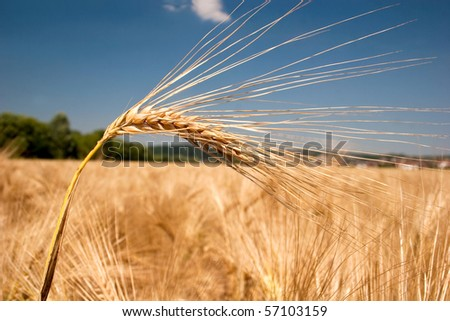 Ripe barley head in front of a field - stock photo
