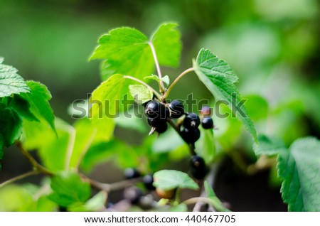 Ripe berries of black currant, healthy and nutritious - stock photo