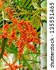 Ripe betel nut - betel palm on tree - stock photo