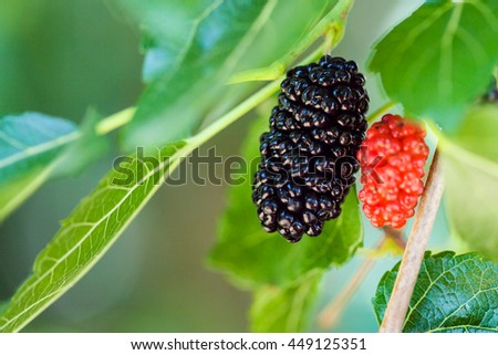 ripe black and red berries on Morus tree (black mulberry, blackberry, Morus nigra) close up in sunny day - stock photo