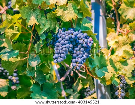 Ripe black grapes ready for harvest - stock photo