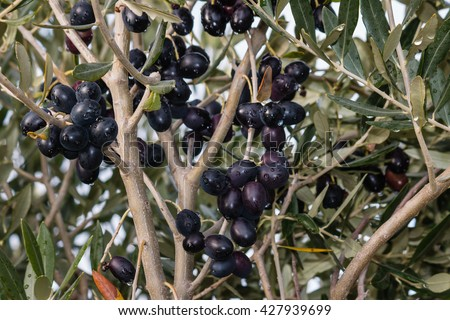ripe black olives on olive tree branch - stock photo