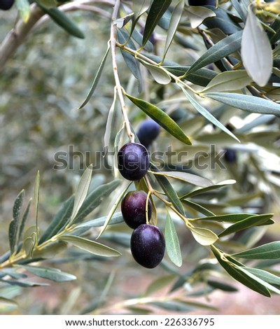 ripe black olives on the tree - green leaves - stock photo
