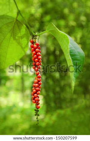 Ripe black pepper on the tree, species plantation - stock photo