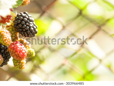 Ripe blackberry cluster shot as macro image on blurred bokeh authentic net fence background - stock photo