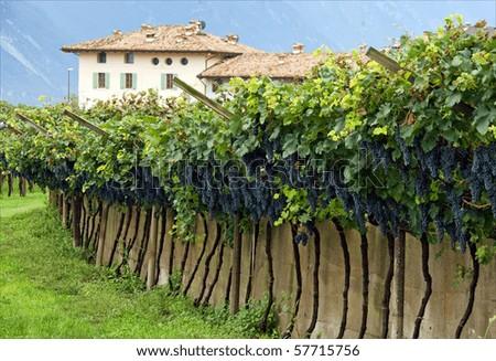Ripe blue grape clusters on grapevines in Italian vineyard - stock photo