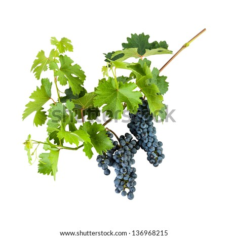 Ripe blue grapes on branch with leaves isolated on white background - stock photo