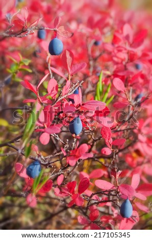 Ripe Blueberries - stock photo