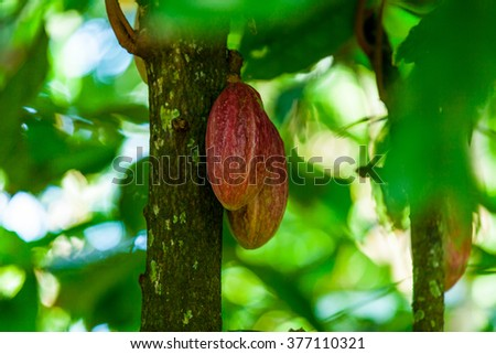 ripe breadfruit on the tree in the forest  - stock photo