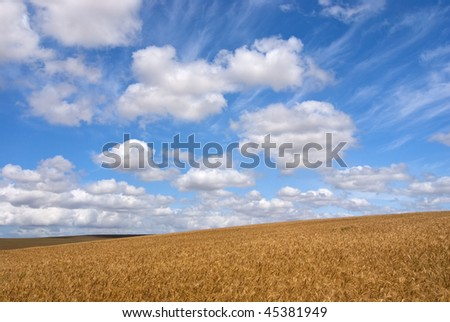 Ripe brown wheat field on a sunny day with blue skies and white clouds