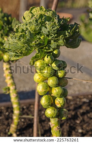 Ripe Brussels sprouts ready for picking - stock photo