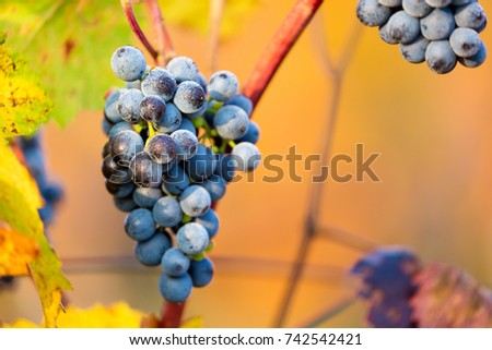 Ripe bunches of dark red grapes with frost and drops under nice light during sunrise, autumn harvesting of grapes in South Moravia, Czech Republic. Winegrowing concept