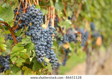 Ripe bunches of red grapes hang on the vine in a vineyard ready to be harvested. Okanagan Valley near Osoyoos, British Columbia, Canada. - stock photo
