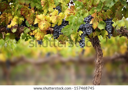 Ripe bunches of red wine grapes hang from an old vine in warm evening light. - stock photo