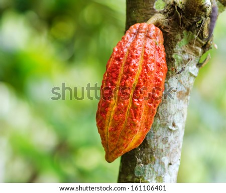 Ripe cacao bean on the wood. - stock photo