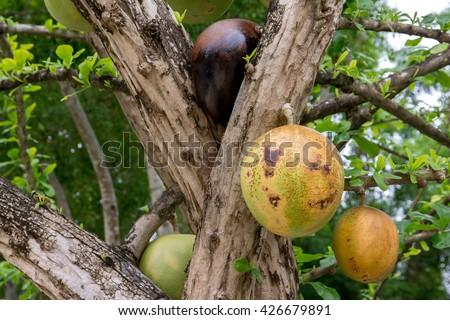 Ripe Calabash Tree in the park,Crescentia cujete  - stock photo