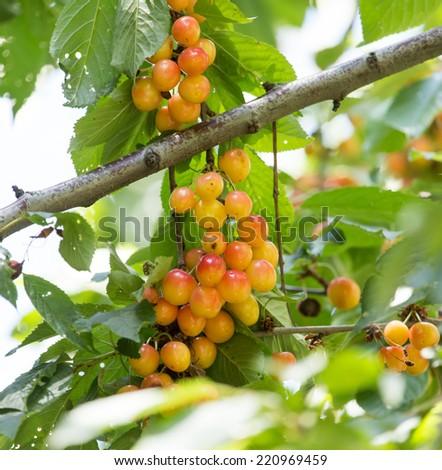 ripe cherries on a tree branch - stock photo