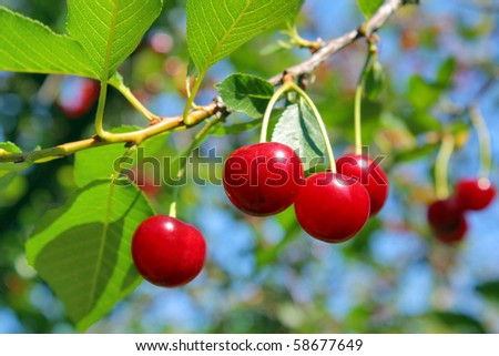 ripe cherry - stock photo