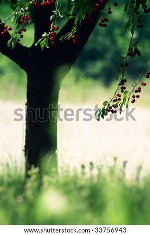 Ripe cherry fruit tree - stock photo