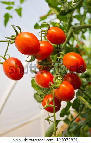 Ripe cherry tomatoes ready for picking.