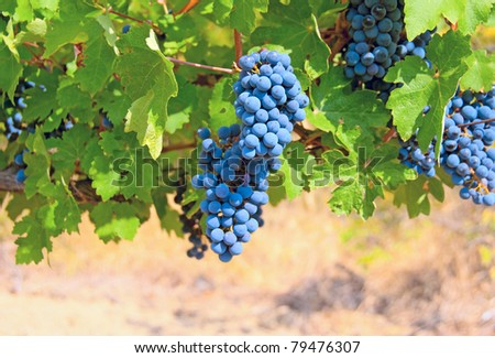 Ripe clusters of grapes among green leaves - stock photo