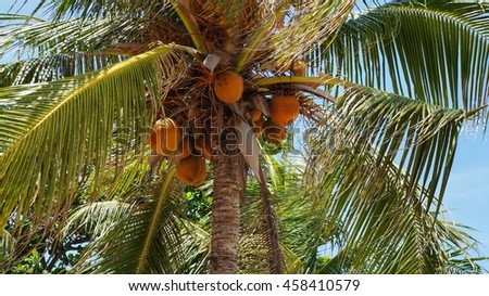 Ripe coconuts hanging on coconut palm tree - stock photo