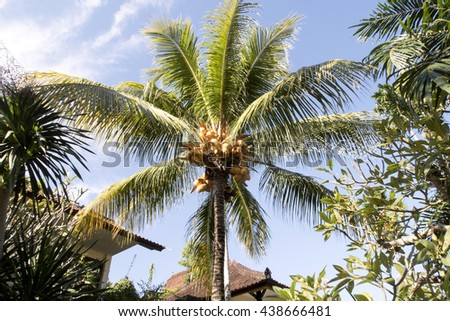 ripe coconuts on the palm, Bali, Indonesia - stock photo