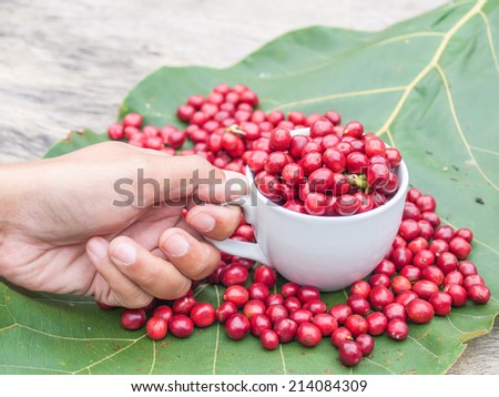 Ripe coffee beans in white coffee cub on big green leaf background. - stock photo
