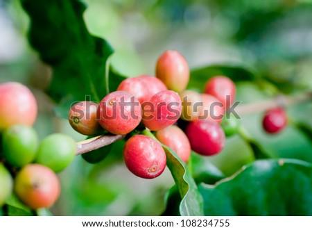 Ripe coffee beans on plant. - stock photo