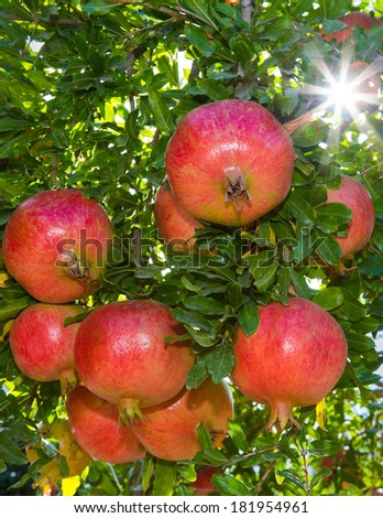 Ripe Colorful Pomegranate Fruit on Tree Branch - stock photo