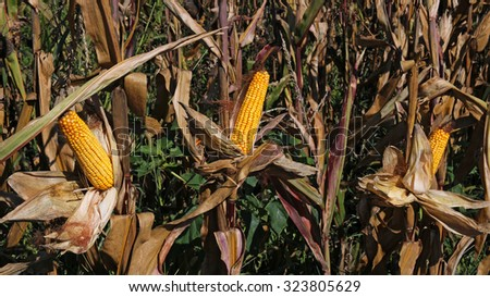 Ripe Corn.  Autumn filed with ripe, golden corncobs on dry steams. Ripe maize corn on the cob in cultivated agricultural field ready for harvesting. - stock photo