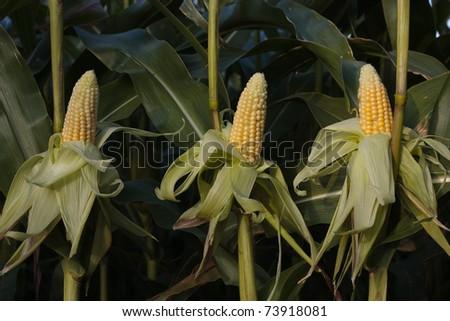 Ripe corn cob growing in field closeup - stock photo