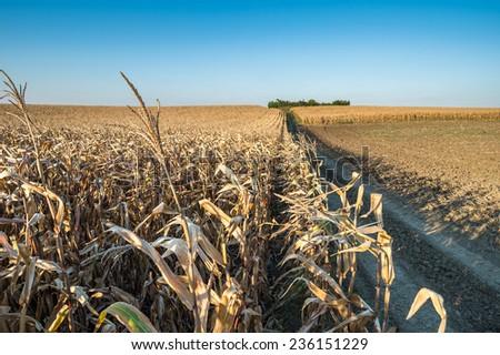 Ripe corn field in autumn - stock photo